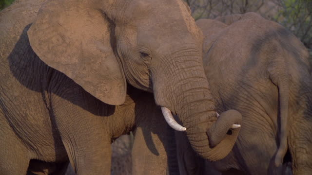 ms slo mo elephant wrapping trunk around tusk in golden light / kruger national park, mpumalanga, south africa - small group of animals stock videos & royalty-free footage
