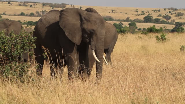 elephants- adult female and baby elephant in dry savana