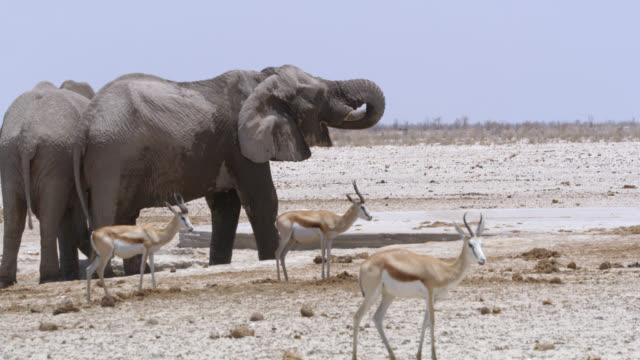 vídeos de stock e filmes b-roll de ms elephants and springboks at water,etosha national park,namibia,africa - cinco animais