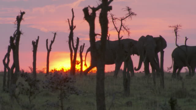 ms ts elephants and wildebeest walking in forest / tanzania  - 30 seconds or greater stock videos & royalty-free footage