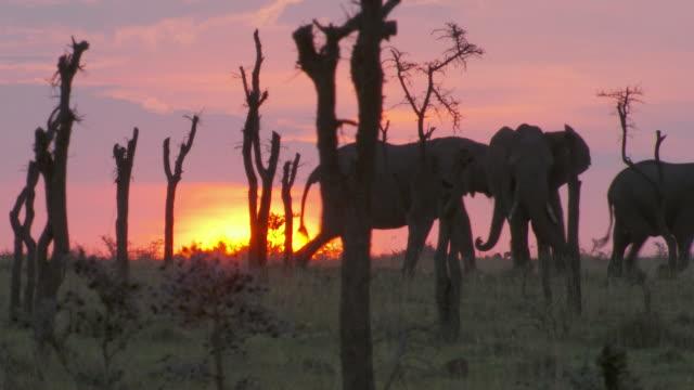 ms ts elephants and wildebeest walking in forest / tanzania  - gruppo medio di animali video stock e b–roll