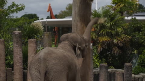 elephants at chester zoo during the coronavirus lockdown - captive animals stock videos & royalty-free footage