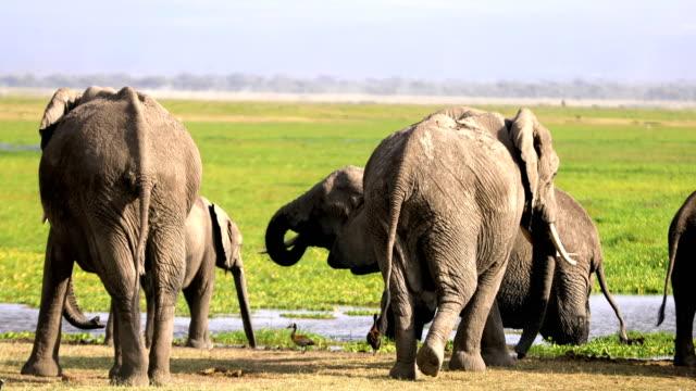Elephants at Wild - drinking