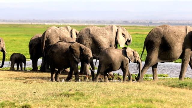 elefanten bei wild - trinken - kenia stock-videos und b-roll-filmmaterial