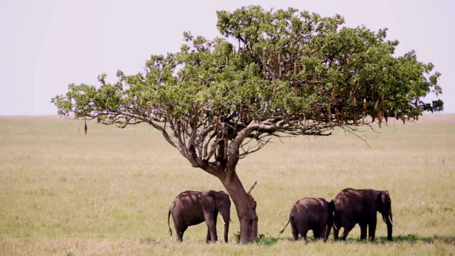 elephants at wild under the shadow - acacia tree stock videos & royalty-free footage