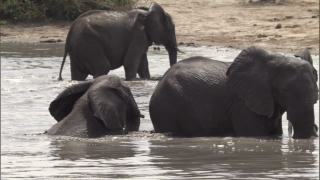 elephants bathe in a watering hole. - tierische nase stock-videos und b-roll-filmmaterial