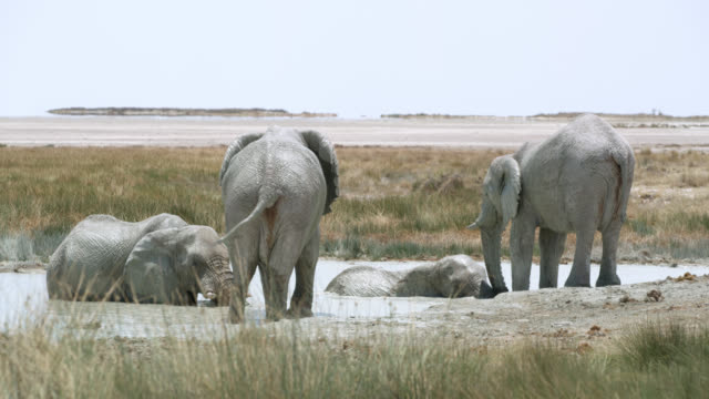 ws elephants bathing in water,etosha national park,namibia,africa - four animals stock videos & royalty-free footage
