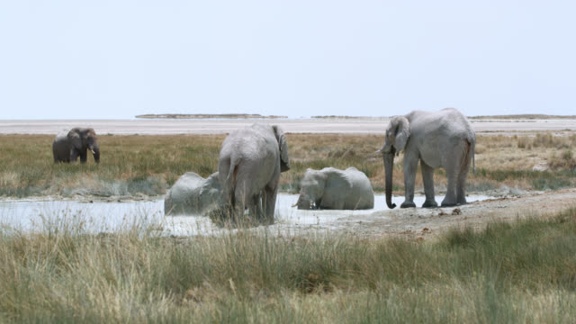 ws elephants bathing in water,etosha national park,namibia,africa - cinque animali video stock e b–roll