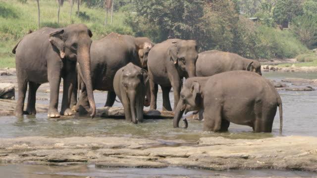ms elephants bathing,wading in water,sri lanka - elephant stock videos & royalty-free footage