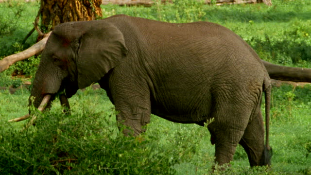 vídeos de stock e filmes b-roll de ms elephants browse amongst acacia bushes / tanzania - árvore tropical