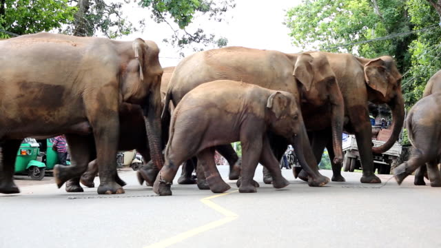 Elephants crossing the road.