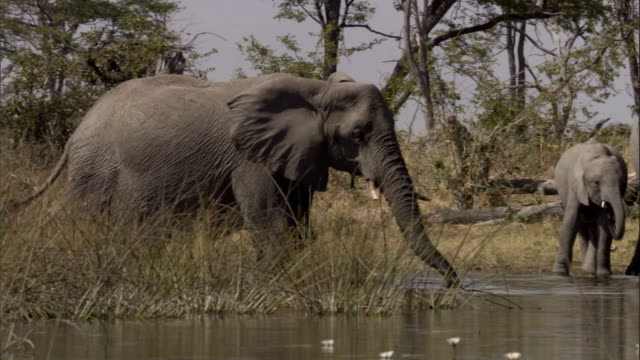 stockvideo's en b-roll-footage met elephants drink at a watering hole. available in hd. - waden