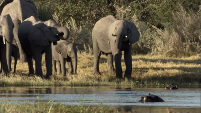 Elephants drink from a watering hole while a hippo swims nearby. Available in HD.