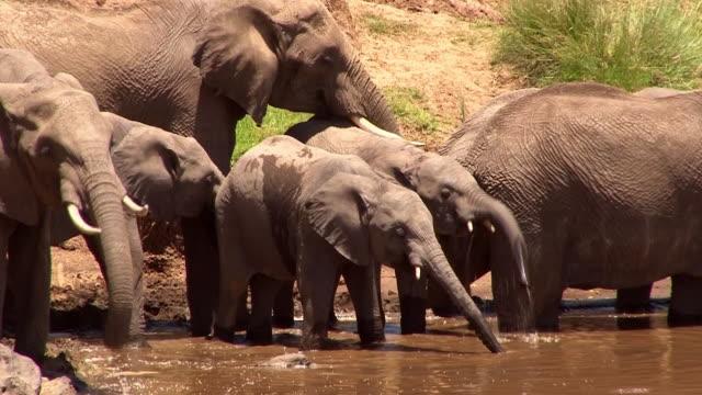 vídeos y material grabado en eventos de stock de elephants drink from mara river, kenya - reserva nacional de masai mara