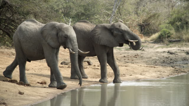 Elephants drink from pool.