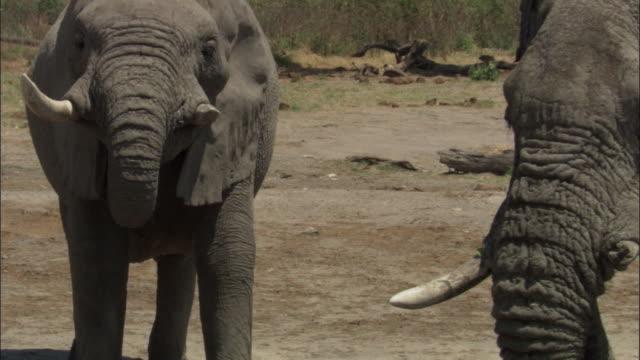 elephants drink from waterhole, botswana - 厚皮動物点の映像素材/bロール
