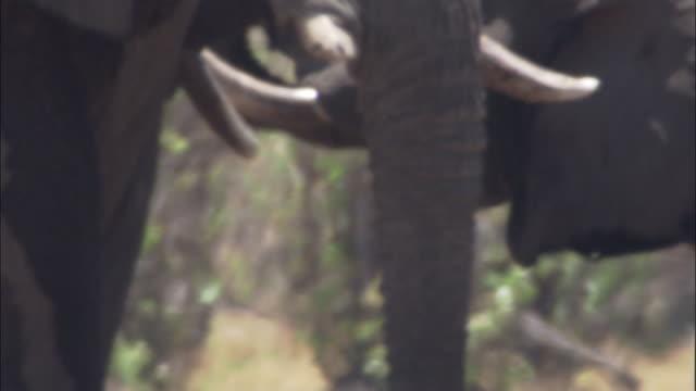 elephants drink in heat haze, botswana - 厚皮動物点の映像素材/bロール