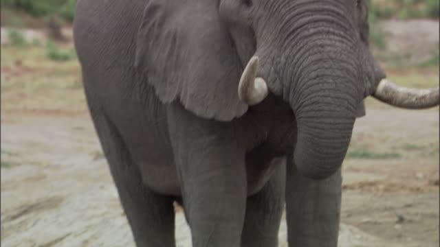 elephants drink in waterhole, botswana - 厚皮動物点の映像素材/bロール