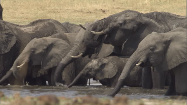vídeos de stock, filmes e b-roll de elephants drinking at watering hole - elefante