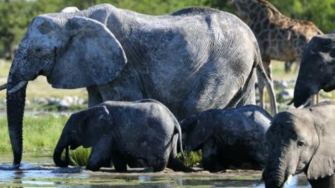 vídeos y material grabado en eventos de stock de elefantes bebiendo de estanque, namibia - grupo grande de animales