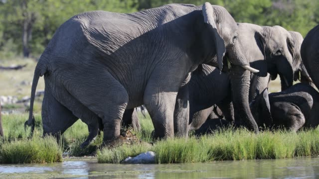 elephants drinking from pond, namibia - large group of animals stock videos & royalty-free footage