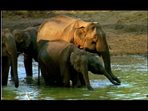 elephants (elephas maximus) drinking in water hole, nagarahole, southern india - medium group of objects stock videos & royalty-free footage