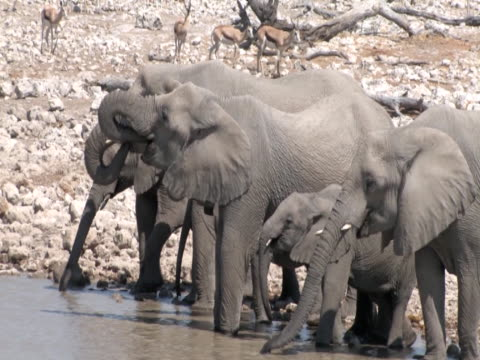 elephants drinking - 2009 stock videos and b-roll footage