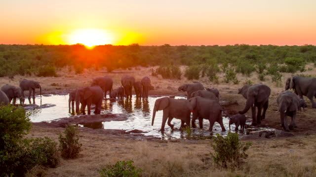 ls ds elephants drinking water from waterhole - large group of animals stock videos and b-roll footage