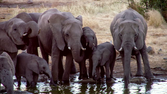 ls tu elephants drinking water from waterhole - herd stock videos & royalty-free footage