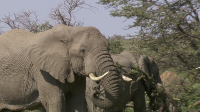 stockvideo's en b-roll-footage met ms zi tu elephants eating branches / tanzania - kleine groep dieren