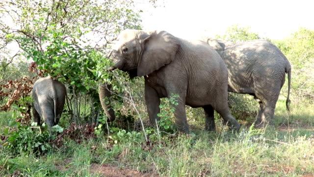 Elephants Eating Bushes in Kruger Wildlife Reserve