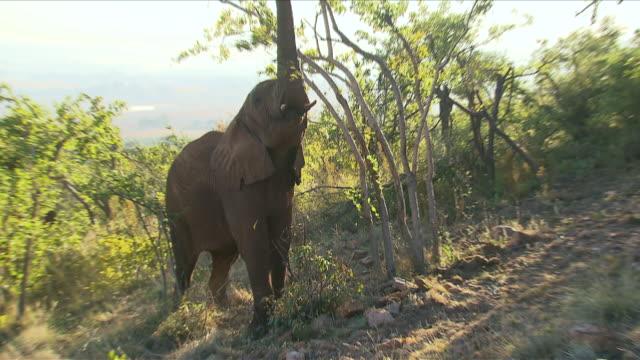 vídeos de stock e filmes b-roll de ms zo elephants eating from trees / etosha national park, kunene, namibia - nariz de animal