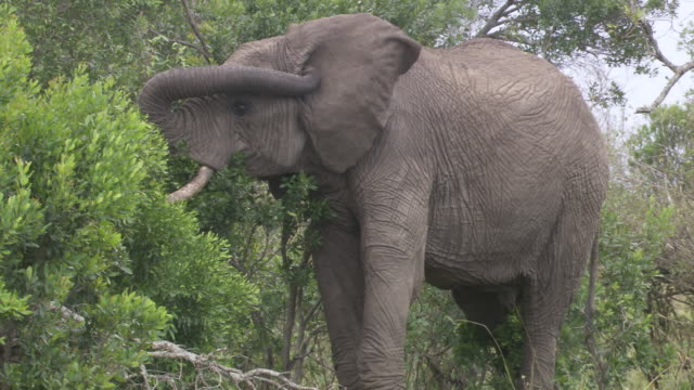 stockvideo's en b-roll-footage met ms elephants eating tree branches / tanzania - kleine groep dieren