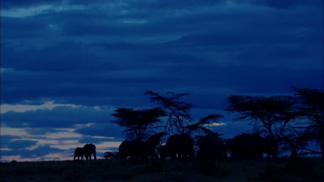 ws elephants eating under blue sky / kenya - acacia tree stock videos & royalty-free footage