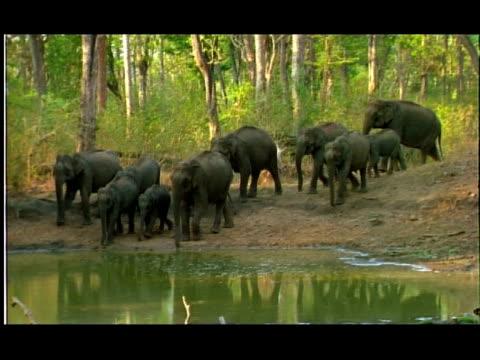 elephants (elephas maximus) entering water hole, nagarahole, southern india - tierische nase stock-videos und b-roll-filmmaterial