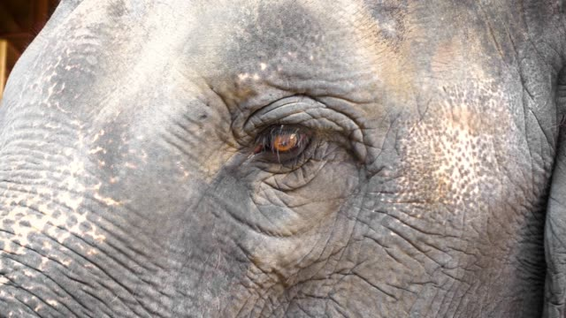 vídeos de stock, filmes e b-roll de 4k: close-up de olho do elefante - olho de animal