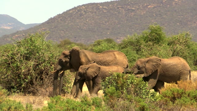vídeos de stock, filmes e b-roll de elephants, family walking through thorn scrub toward ewaso niro river, samburu national reserve, kenya - grupo pequeno de animais