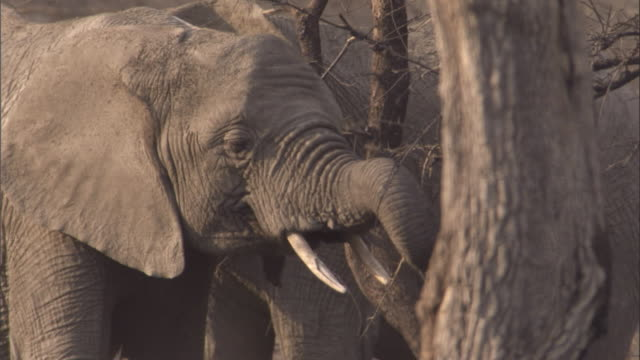 Elephants feed on dry twigs and branches. Available in HD.