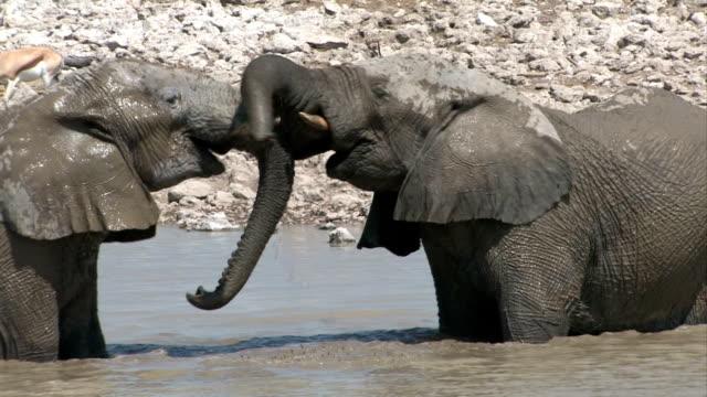 象の戦闘 - 水場点の映像素材/bロール