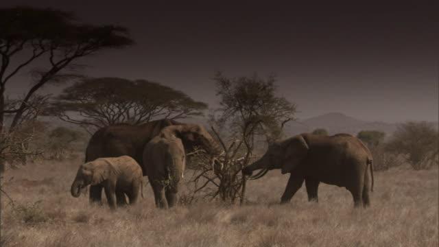 stockvideo's en b-roll-footage met elephants graze from an acacia tree. - grazen