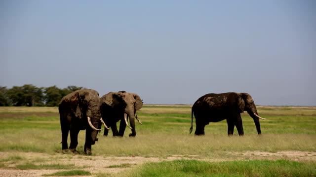Elephants grazing at Amboseli