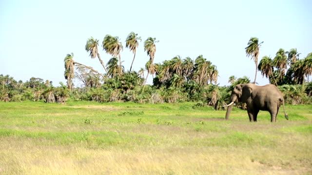 vidéos et rushes de éléphants paissant en amboseli - nez d'animal