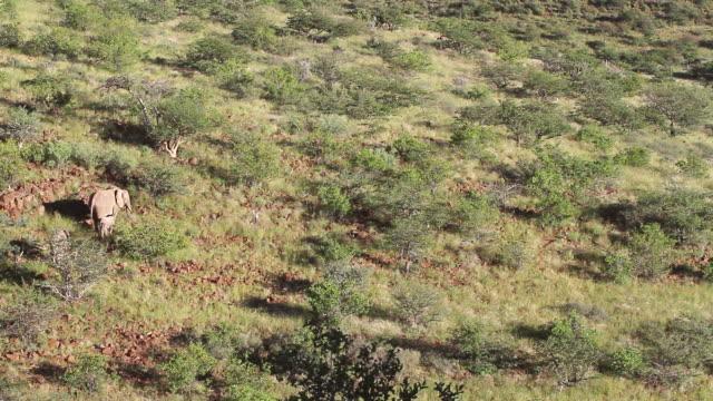 stockvideo's en b-roll-footage met ms elephants grazing in field / darmaland, kunene, namibia - wiese