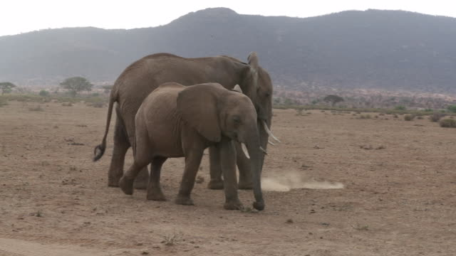 elephants grazing in the wild - safari animals stock videos & royalty-free footage