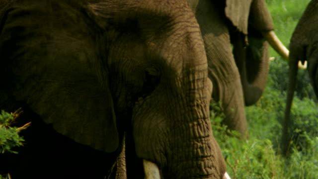vídeos de stock e filmes b-roll de ms elephants grazing on grass and bushes / tanzania - quatro animais