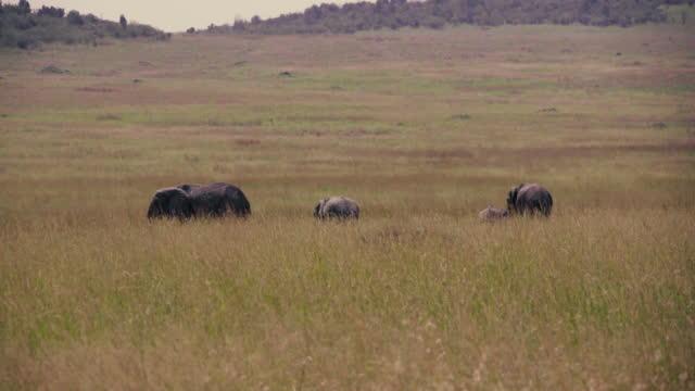 elefanten weiden - jungtier stock-videos und b-roll-filmmaterial