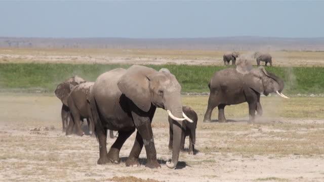 ws elephants having dust shower at amboseli national park audio / amboseli, rift valley, kenya - medium group of animals stock videos & royalty-free footage