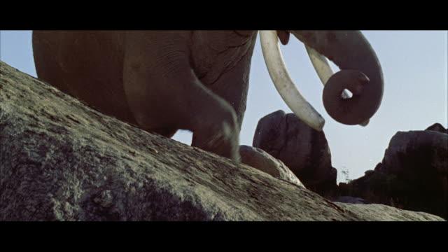 MS CU Elephant's head against sky as he trumpets
