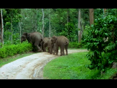 vídeos y material grabado en eventos de stock de elephants (elephas maximus) hurrying across track through forest, nagarahole, southern india - grupo mediano de objetos