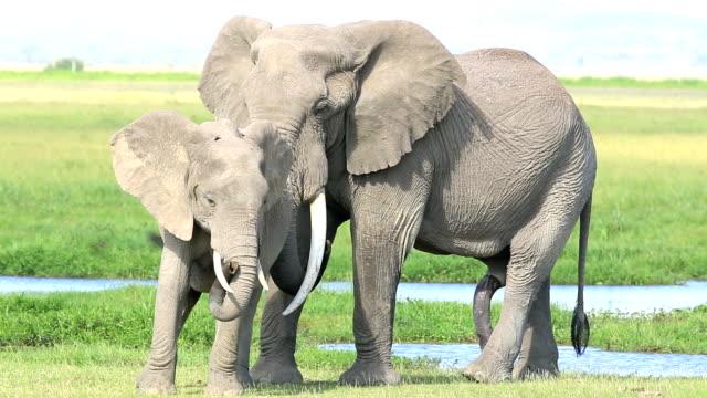 elephants in amboseli national park, kenya. - penis stock videos & royalty-free footage